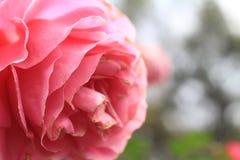 Όμορφος ρόδινος αυξήθηκε κοντά επάνω για την ημέρα βαλεντίνων Στοκ εικόνες με δικαίωμα ελεύθερης χρήσης