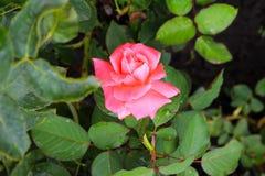 Όμορφος ρόδινος αυξήθηκε σε έναν κήπο στοκ εικόνες