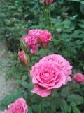 Όμορφος ρόδινος αυξήθηκε λουλούδι στον κήπο στοκ εικόνα
