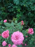Όμορφος ρόδινος αυξήθηκε λουλούδι στον κήπο στοκ φωτογραφίες