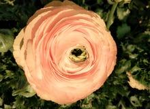 Όμορφος ρόδινος αυξήθηκε στο μαλακό φως Στοκ εικόνα με δικαίωμα ελεύθερης χρήσης