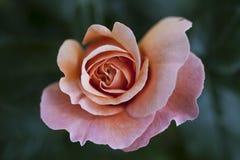 όμορφος ρόδινος αυξήθηκε Στοκ φωτογραφίες με δικαίωμα ελεύθερης χρήσης