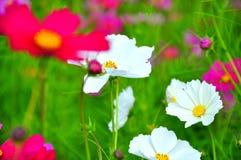 Όμορφος ρόδινος κήπος λουλουδιών Jim Thompson's στο αγρόκτημα, Ταϊλάνδη Στοκ Εικόνες
