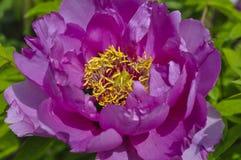 Όμορφος ρόδινος peony στενός επάνω λουλουδιών Στοκ φωτογραφία με δικαίωμα ελεύθερης χρήσης