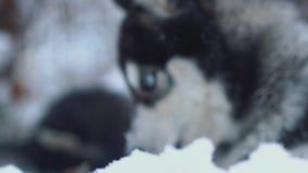Όμορφος σιβηρικός γεροδεμένος με τους άσπρους κυνόδοντες hige δαγκώνει τους κλάδους που καλύπτονται με το χιόνι στο υπόβαθρο χειμ απόθεμα βίντεο
