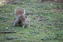 Όμορφος σκίουρος Στοκ εικόνα με δικαίωμα ελεύθερης χρήσης