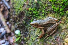 Όμορφος σκοτεινός-πλαισιωμένος βάτραχος στο δάσος στοκ φωτογραφίες με δικαίωμα ελεύθερης χρήσης