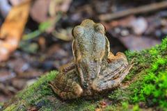 Όμορφος σκοτεινός-πλαισιωμένος βάτραχος στο δάσος στοκ εικόνα