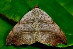 Όμορφος σκώρος γάντζος-ακρών (flexula Laspeyria) σε στάση στο φύλλο Στοκ εικόνες με δικαίωμα ελεύθερης χρήσης