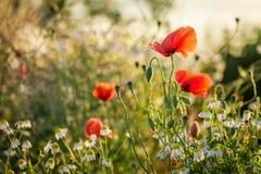 Όμορφος σπόρος παπαρουνών στον τομέα στην ανατολή, Ευρώπη Στοκ Εικόνες