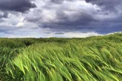 Όμορφος στενός επάνω ενός γεωργικού τομέα συγκομιδών σίτου που κινείται στον αέρα στοκ εικόνες