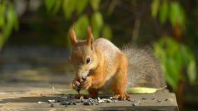 Όμορφος στενός επάνω πυροβολισμός στο δάσος η δράση σε πραγματικό - χρόνος Κόκκινος σκίουρος στο κάστανο, στενό πορτρέτο φιλμ μικρού μήκους