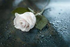 Όμορφος συμβολικός άσπρος δροσοσκέπαστος αυξήθηκε στοκ εικόνες