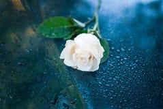 Όμορφος συμβολικός άσπρος δροσοσκέπαστος αυξήθηκε στοκ φωτογραφία με δικαίωμα ελεύθερης χρήσης