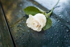 Όμορφος συμβολικός άσπρος δροσοσκέπαστος αυξήθηκε στοκ εικόνες με δικαίωμα ελεύθερης χρήσης