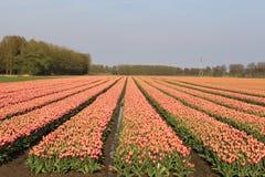Όμορφος τομέας βολβών στην Ολλανδία με τις κόκκινες τουλίπες Στοκ Εικόνα