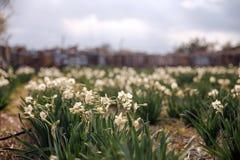 Όμορφος τομέας με τα φωτεινά και άσπρα daffodils στοκ φωτογραφία