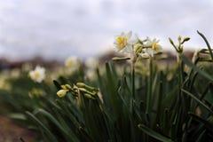 Όμορφος τομέας με τα φωτεινά και άσπρα daffodils στοκ εικόνα