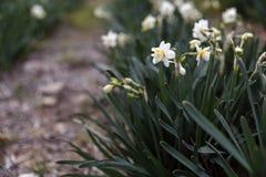 Όμορφος τομέας με τα φωτεινά και άσπρα daffodils στοκ φωτογραφίες με δικαίωμα ελεύθερης χρήσης