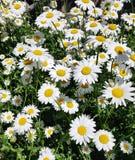Όμορφος τομέας με το άσπρο υπόβαθρο λουλουδιών μαργαριτών Φωτεινό chamomiles ή camomiles λιβάδι στοκ εικόνα