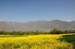 Όμορφος τομέας μουστάρδας στο Κασμίρ, Ινδία στοκ εικόνες με δικαίωμα ελεύθερης χρήσης