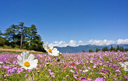 Όμορφος τομέας λουλουδιών στην Ταϊβάν Στοκ εικόνες με δικαίωμα ελεύθερης χρήσης
