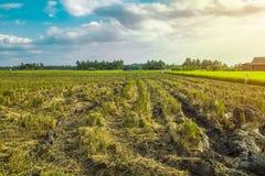 Όμορφος τομέας ρυζιού μετά από να συγκομίσει Στοκ Εικόνα