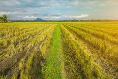 Όμορφος τομέας ρυζιού μετά από να συγκομίσει στοκ φωτογραφία με δικαίωμα ελεύθερης χρήσης