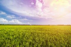 Όμορφος τομέας ρυζιού, τομέας ορυζώνα στοκ εικόνες με δικαίωμα ελεύθερης χρήσης