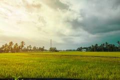 Όμορφος τομέας ρυζιού πρίν συγκομίζει στοκ εικόνες
