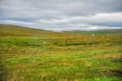 Όμορφος τομέας χλόης τοπίων πράσινος της Νορβηγίας με το νορβηγικό κοπάδι ταράνδων Στοκ Εικόνες