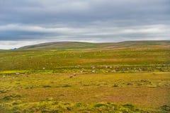 Όμορφος τομέας χλόης τοπίων πράσινος της Νορβηγίας με το νορβηγικό κοπάδι ταράνδων Στοκ Φωτογραφία