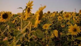 Όμορφος τομέας Stunningly των ηλίανθων στον ήλιο βραδιού Λουλούδι κινηματογραφήσεων σε πρώτο πλάνο απόθεμα βίντεο