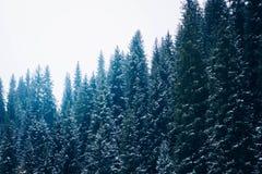 Όμορφος τονισμός χρώματος βουνοπλαγιών πεύκων δασικός Στοκ Εικόνες