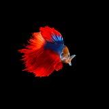 Όμορφος των κόκκινων ψαριών πάλης betta ουρών σιαμέζων που απομονώνονται επάνω στοκ εικόνες