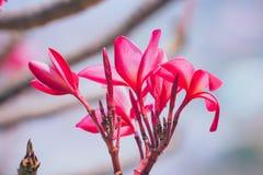 Όμορφος των λουλουδιών Plumeria Στοκ φωτογραφία με δικαίωμα ελεύθερης χρήσης
