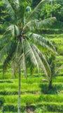 Όμορφος φοίνικας καρύδων στους καταπληκτικούς τομείς πεζουλιών ρυζιού Tegalalang, Ubud, Μπαλί, Ινδονησία Στοκ Εικόνες