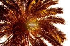 Όμορφος φοίνικας με την ηλιόλουστη ημέρα ελαφριών ακτίνων τονισμός Διακοπές Conce Στοκ Φωτογραφία