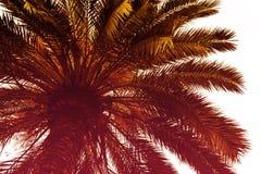 Όμορφος φοίνικας με την ηλιόλουστη ημέρα ελαφριών ακτίνων τονισμός Διακοπές Conce Στοκ Εικόνες