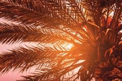 Όμορφος φοίνικας με την ηλιόλουστη ημέρα ελαφριών ακτίνων τονισμός Διακοπές Conce Στοκ φωτογραφίες με δικαίωμα ελεύθερης χρήσης