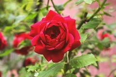 Όμορφος φρέσκος κόκκινος αυξήθηκε στοκ εικόνα με δικαίωμα ελεύθερης χρήσης