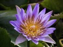 Όμορφος φυσικά κήπος λουλουδιών λωτού Στοκ Εικόνες