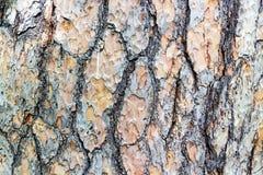 Όμορφος φλοιός σύστασης ενός αιώνιου δέντρου Στοκ Εικόνα