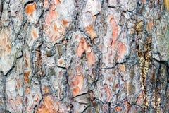 Όμορφος φλοιός σύστασης ενός αιώνιου δέντρου Στοκ φωτογραφίες με δικαίωμα ελεύθερης χρήσης