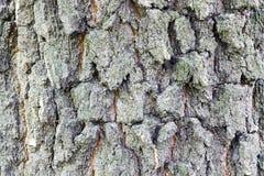 Όμορφος φλοιός σύστασης ενός αιώνιου δέντρου Στοκ Εικόνες