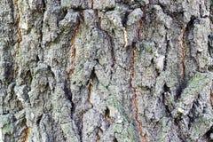 Όμορφος φλοιός σύστασης ενός αιώνιου δέντρου Στοκ εικόνες με δικαίωμα ελεύθερης χρήσης