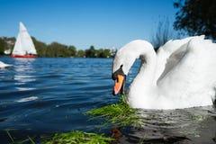 Όμορφος χαριτωμένος άσπρος κύκνος επιείκειας στη λίμνη Alster μια ηλιόλουστη ημέρα Άσπρη βάρκα πανιών ευχαρίστησης στο υπόβαθρο Α Στοκ φωτογραφία με δικαίωμα ελεύθερης χρήσης