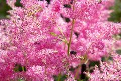 Όμορφος χνουδωτός θάμνος του ρόδινου astilba στον κήπο στοκ εικόνες