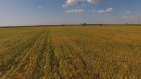Όμορφος χρυσός τομέας των συγκομιδών σιταριού με τις ευθείες σειρές απόθεμα βίντεο