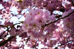 Όμορφος χρόνος sakura ανθών κερασιών την άνοιξη Στοκ εικόνα με δικαίωμα ελεύθερης χρήσης
